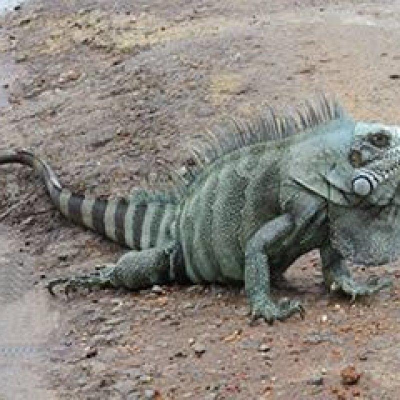 Mirante da Serra: Iguana é flagrada por motorista na RO-470