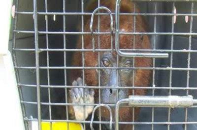 Após se recuperar de maus tratos, macaco é devolvido à natureza em Cacoal