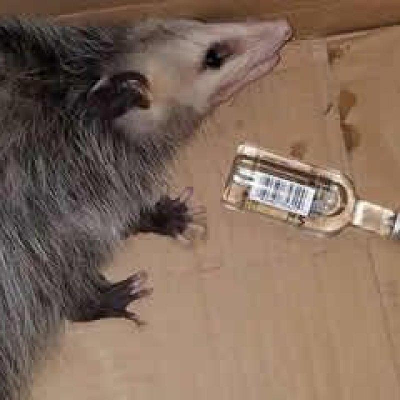 Gambá invade loja de bebidas nos Estados Unidos e fica bêbado