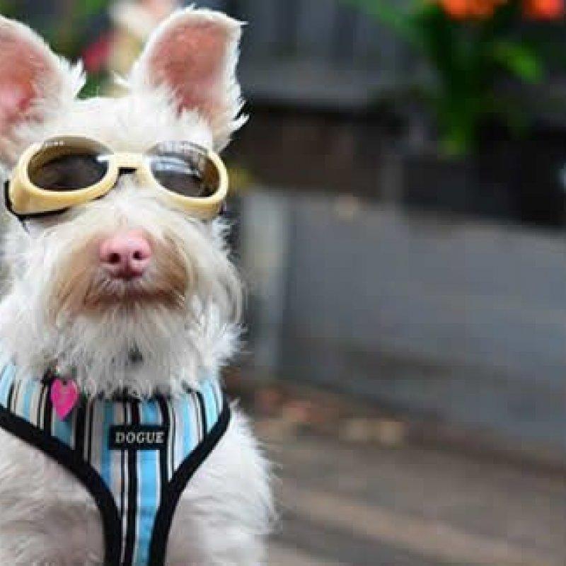 Schnauzer albino faz sucesso na web por usar óculos de sol canino
