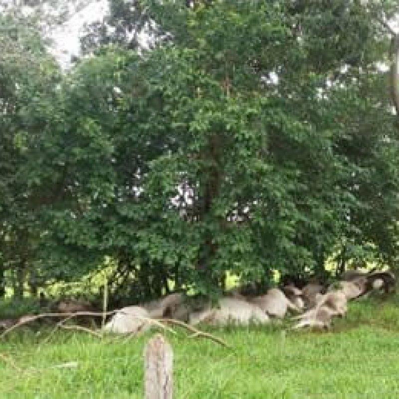 Raio atinge fazenda no interior de São Paulo e mata 84 bois