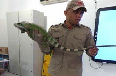 Bombeiros capturam iguana no centro da cidade de Ouro Preto do Oeste