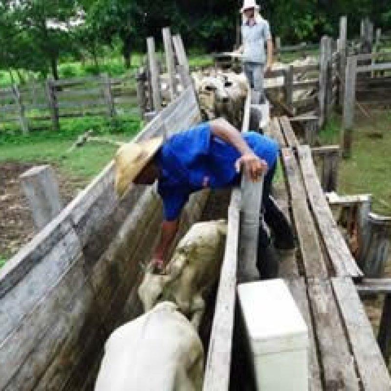 Idaron confirma vacinação de 100% do rebanho bovino e bubalino contra febre aftosa