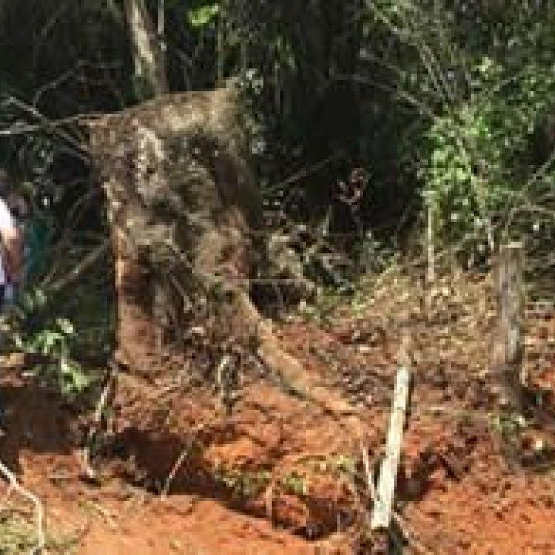 Homem é esmagado por árvore durante derrubada