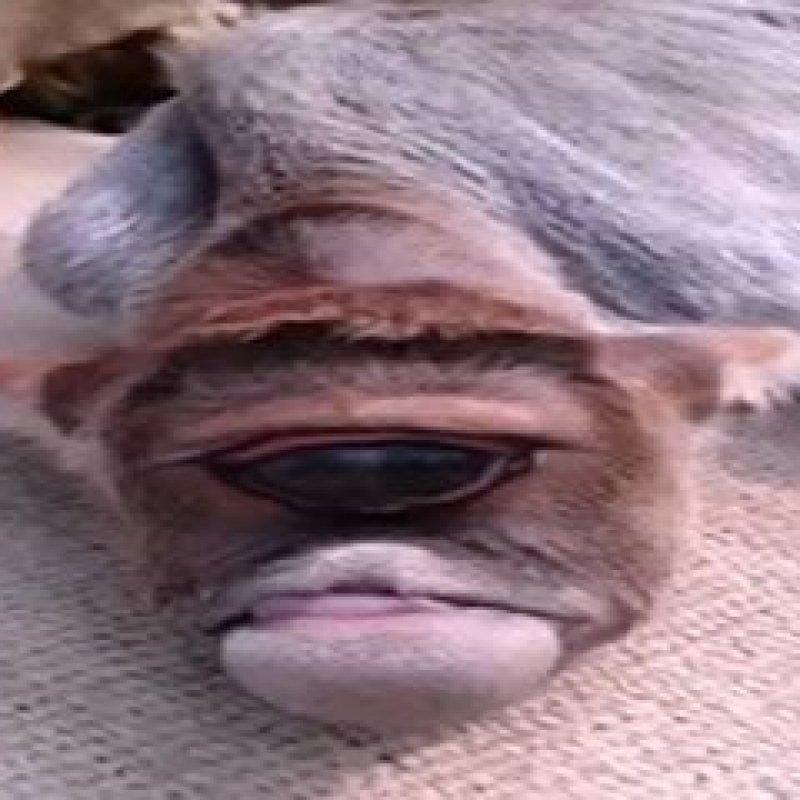 Bezerro 'cíclope' nasce com apenas um olho, e é reverenciado