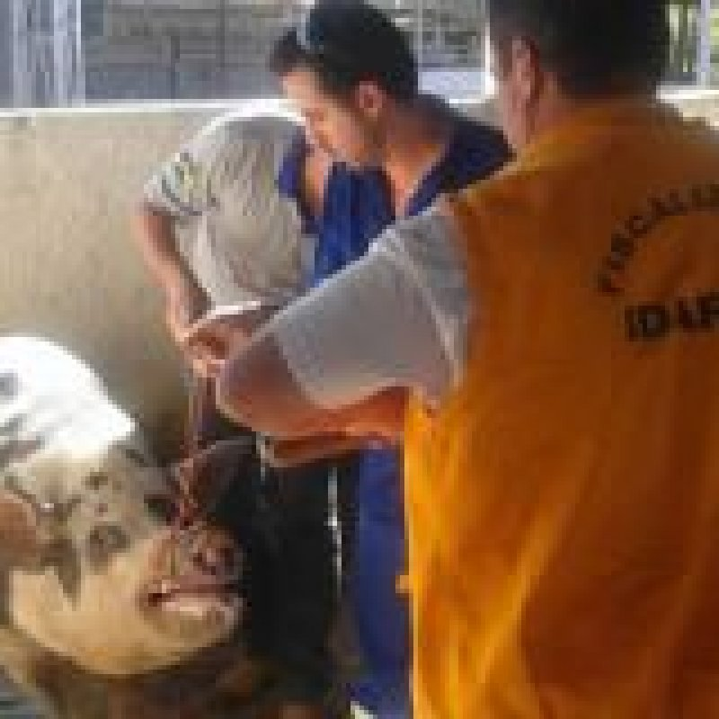 Idaron de Ouro Preto realiza monitoramento sorológico de Peste Suína Clássica