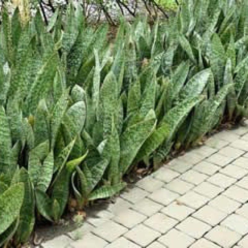 Saravá, espada-de-São-Jorge: a planta que é pau para toda obra