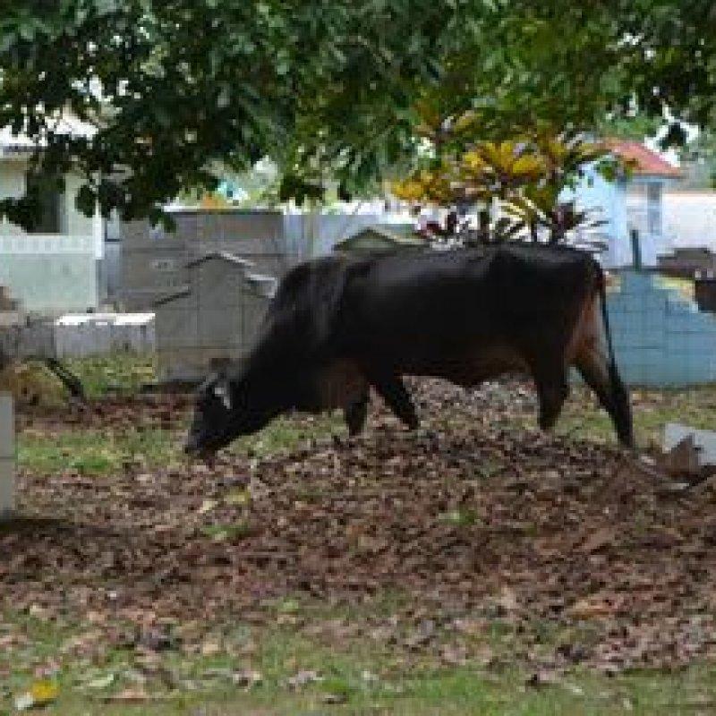 Animais pastando e pisoteando túmulos em cemitério de Ouro Preto do Oeste tornou-se rotina