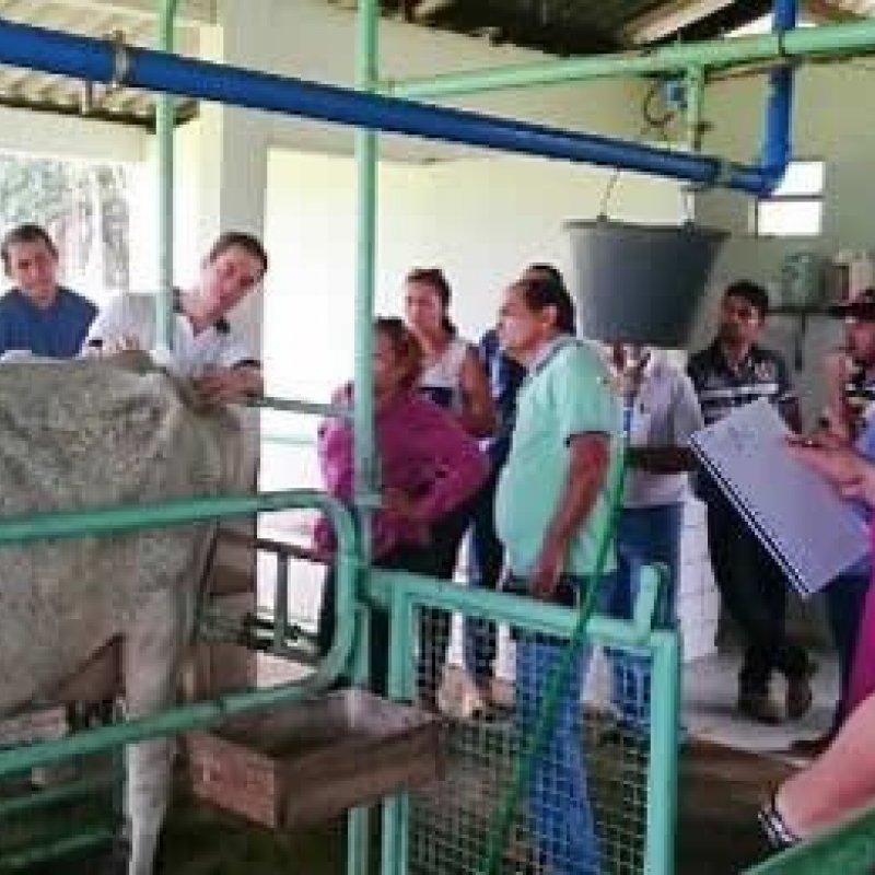 Embrapa fortalece pecuária leiteira de RO com mais tecnologia e boas práticas no campo