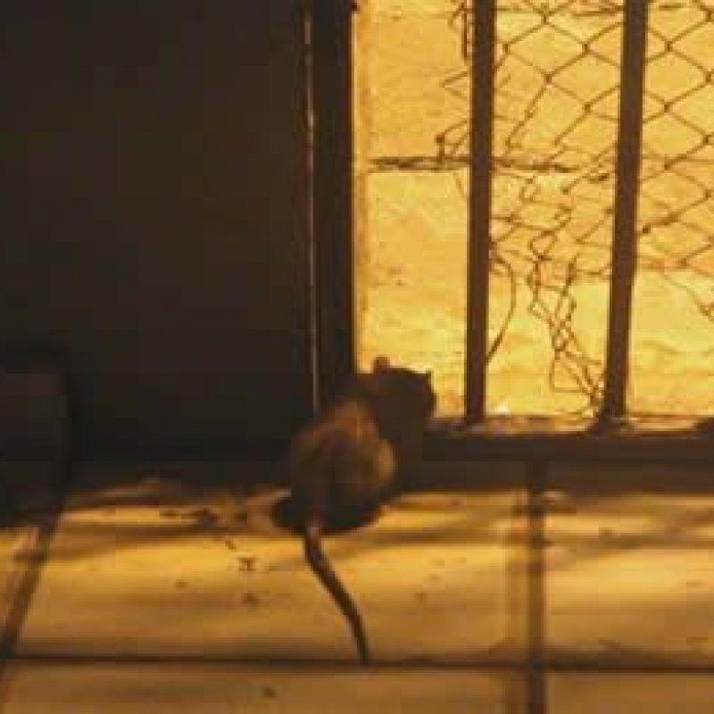 Detentas dizem que estão sendo atacadas por ratazanas em presídio feminino de RO
