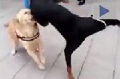 Cachorro ¨capoeirista¨