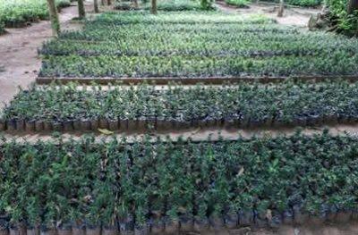 Mais de 50 mil mudas de plantas são distribuídas em Ji-Paraná