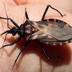 Rondônia registra o primeiro caso de doença de Chagas por transmissão vetorial