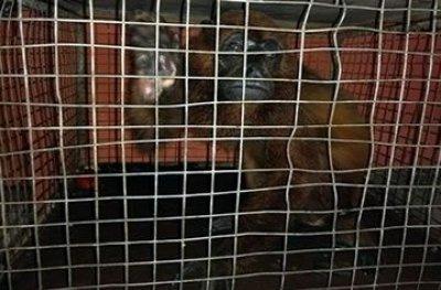 Bombeiros resgatam macaco bugio no perímetro urbano de Ouro Preto do Oeste