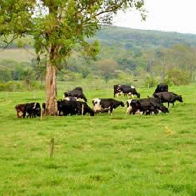 Pecuária de leite - Renovação