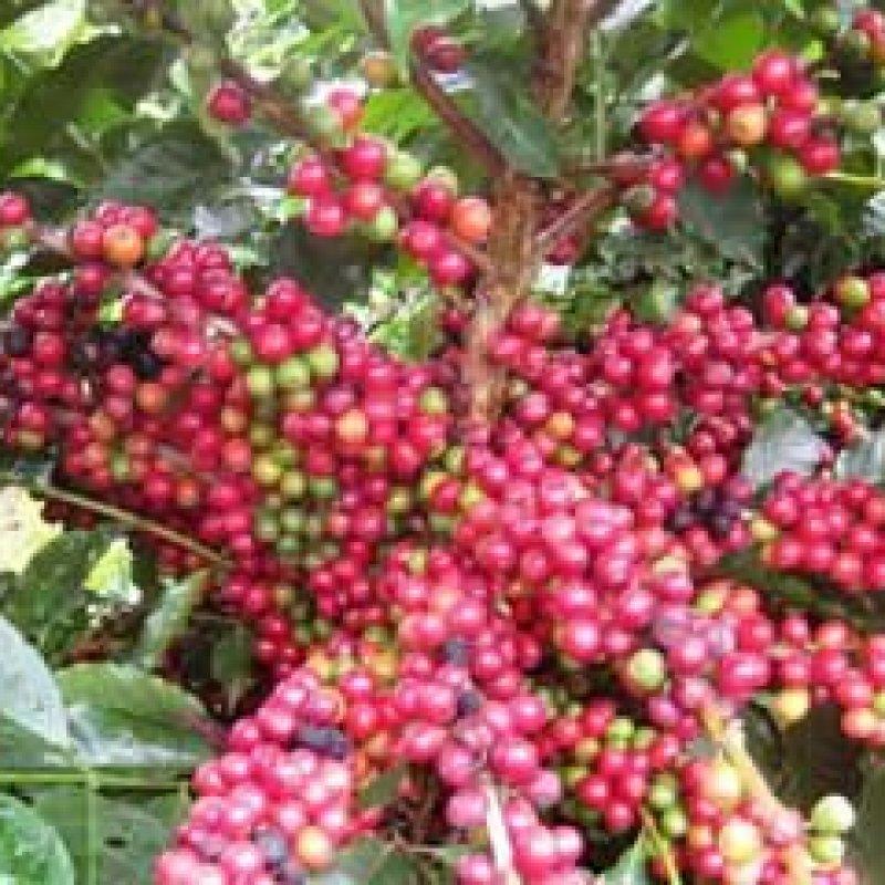 Rondônia usa tecnologia de São Paulo nos novos plantios do café