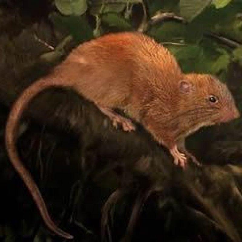 Nova espécie de ratazana gigante é descoberta por cientista australiano