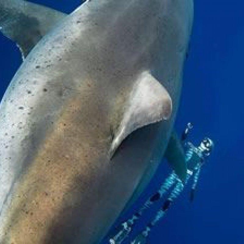 'A minha experiência nadando com o maior tubarão do mundo'
