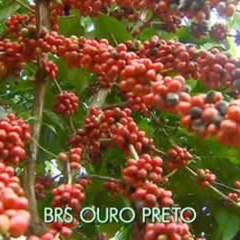 Tecnologia e genética impulsionam produção de café em lavouras de RO