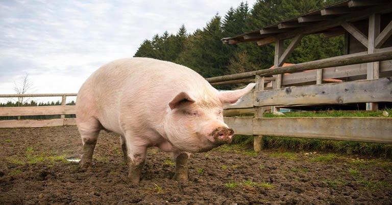 Idoso bebe demais, luta com porco, tem pênis arrancado e morre