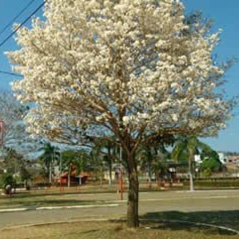 Árvores de ipê branco dão espetáculo em avenida em Ouro Preto