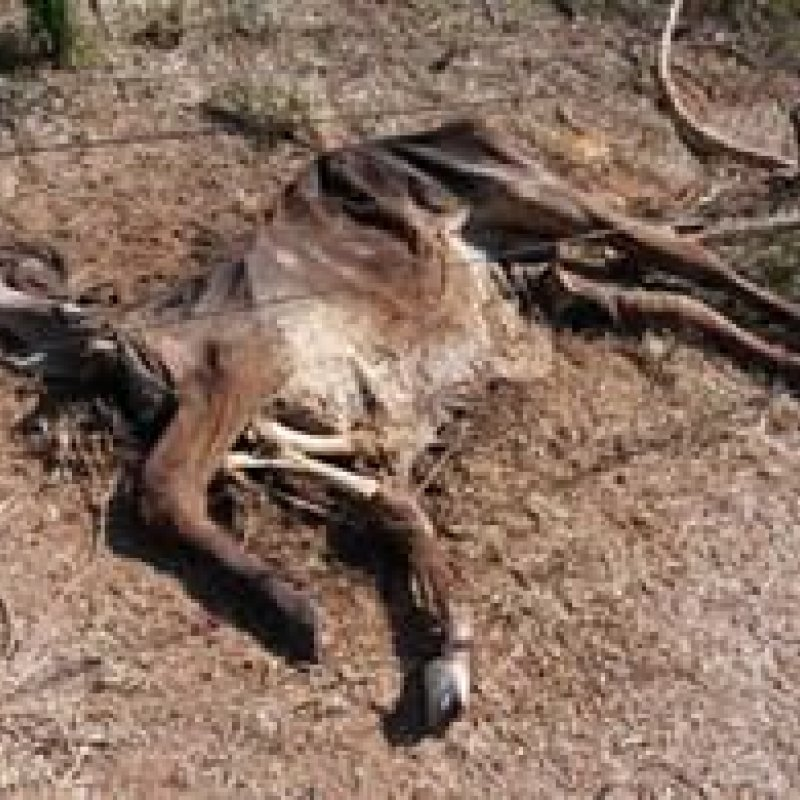 Seca castiga pastagens e causa morte de animais em Rondônia