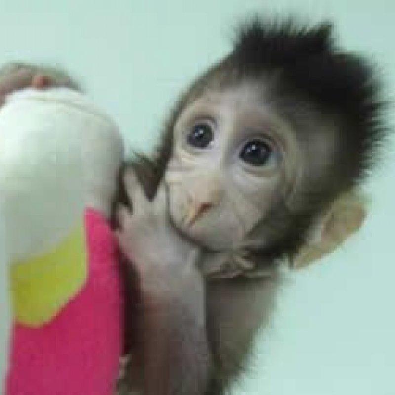 Primeiros macacos clonados com a técnica da ovelha Dolly nasceram na China