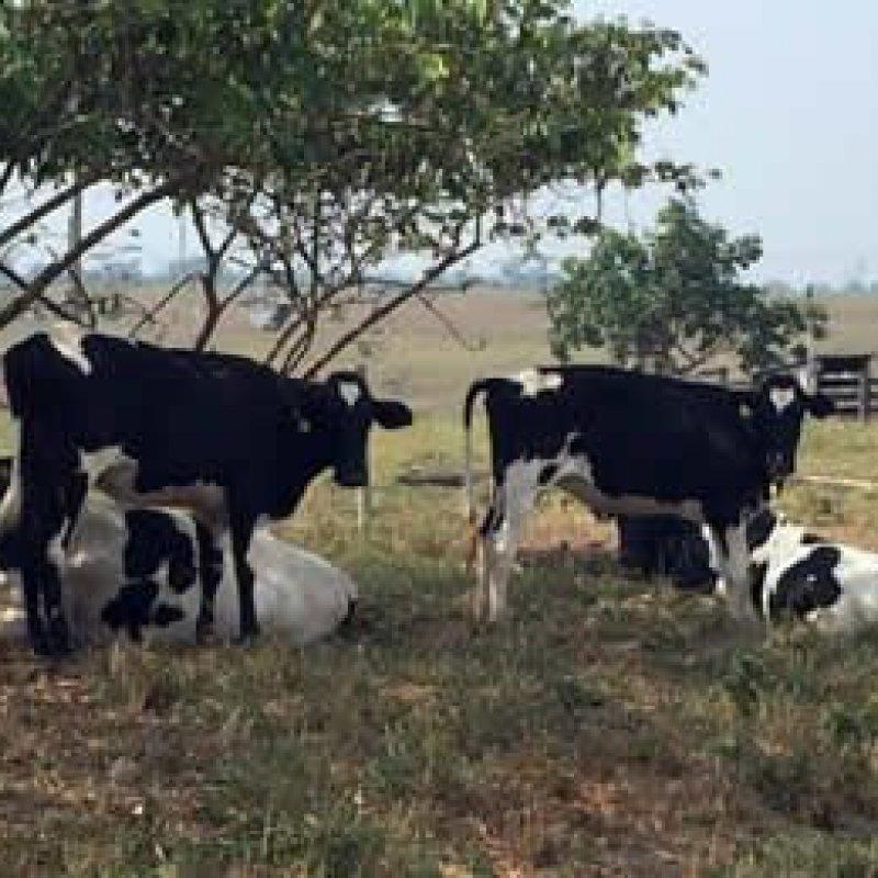 Pecuária leiteira de RO inicia o ano com perspectivas otimistas de produção