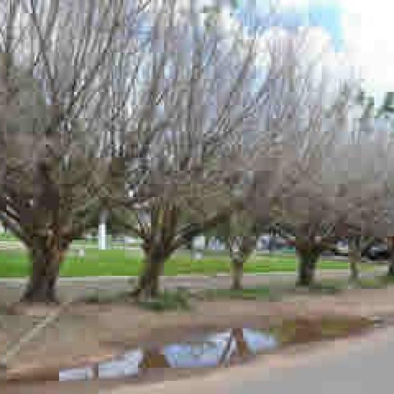 Árvores são envenenadas em Ouro Preto e ninguém viu nada