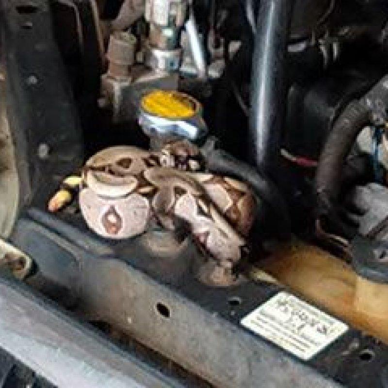 Cobra jiboia é encontrada em motor de carro na cidade de Ouro Preto do Oeste