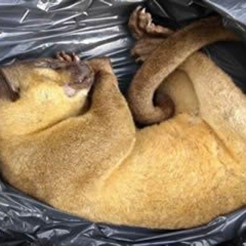 Jupará: animal silvestre é encontrado morto no Bosque Municipal de Ouro Preto do Oeste