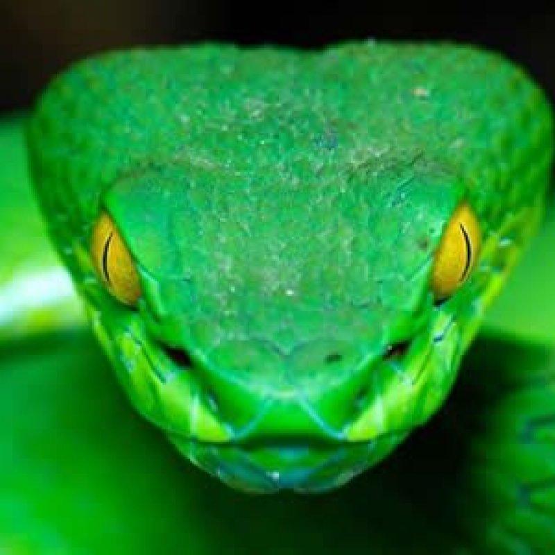 É possível sugar o veneno de uma picada de cobra?